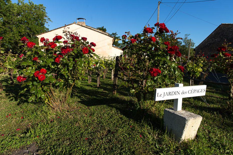 Jardin des cépages avec de grosses fleurs rouges