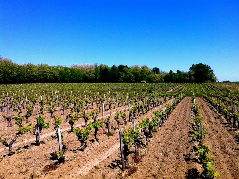 Un vignoble et ses jeunes pieds de vignes sous un grand ciel bleu
