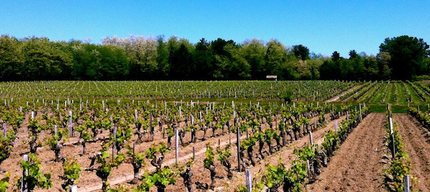 Vignes médocaines au printemps